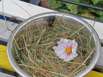Eine aus dem Regenfass gerettete Hummelkönigin wird auf Stroh gebettet.