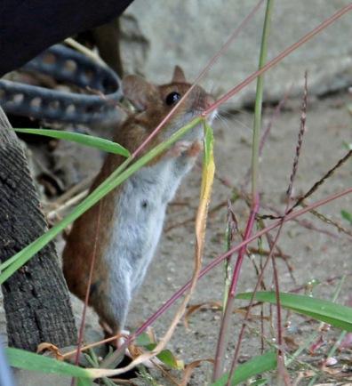 Die Ämtler-Maus, ein putziger und herzlich gesehener Gast.