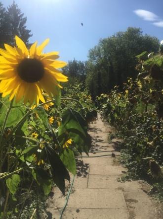 Sonnenblumen sind besonders reich an Pollen und Nektar und somit sehr bienenfreundlich. Die Sonnenblumenkerne werden gerne von Spatzen, Blaumeisen, Kohlmeisen, Stieglitzen, Grünfinken und der Ämtler-Maus gefressen.